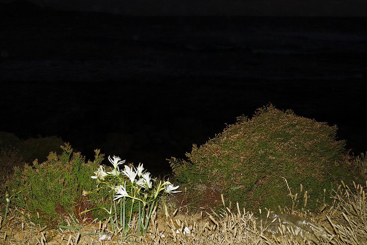 Lilien vor dem nächtlichen Meer   /   Gigli davanti il mare notturno