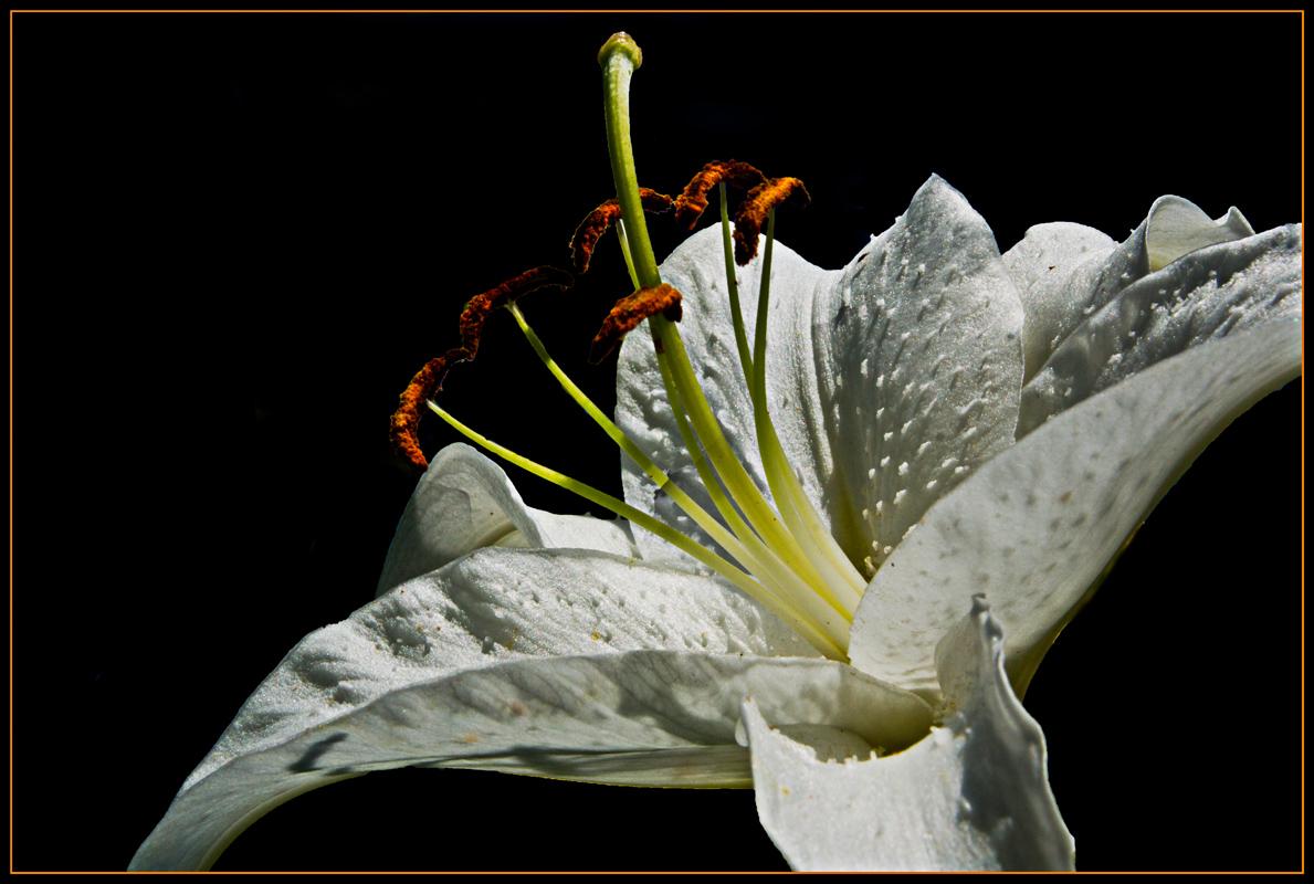 Lilienblüte II