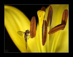 Lilienblüte mit Schwebfliege