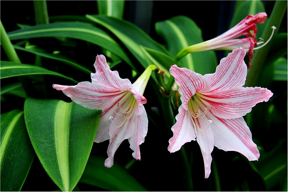 Lilienblütig