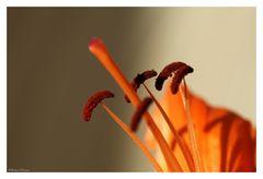 Lilienpollen