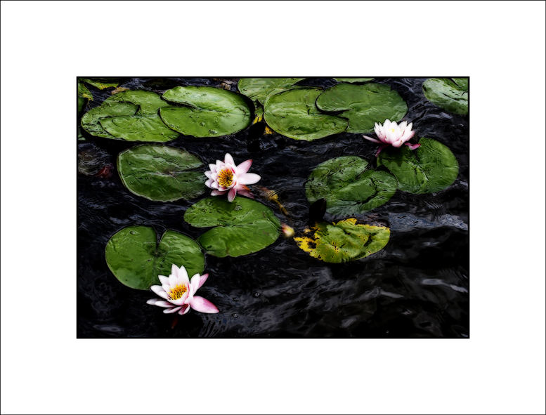 lilies in a storm