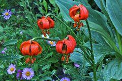 Lilium cariolica