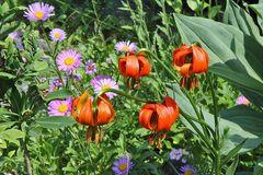 Lilium cariolicum