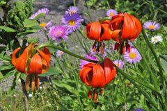 Lilium cariolicum größer