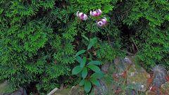 Lilium martagon-Türkenbund in meinem Alpinen Gartenteil...