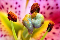 Lilium orientale Pimento