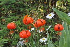 Lilium spec. vom Habitus wie martagon aber nicht so gefärbt