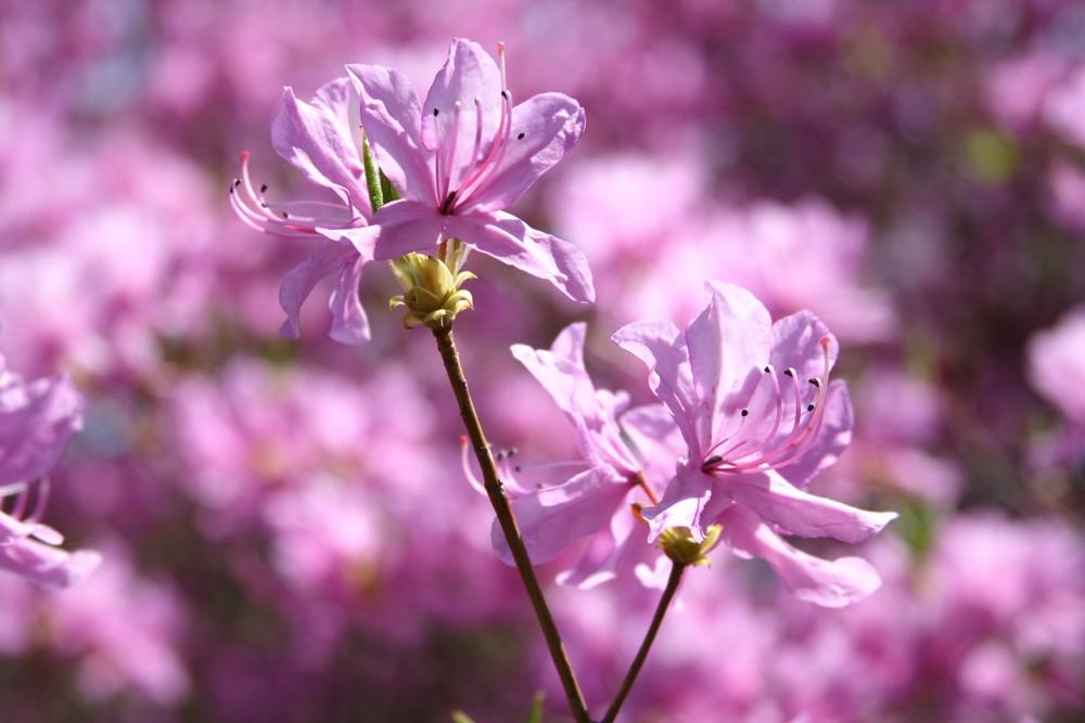 lilla in primo piano (Tsutsuji)