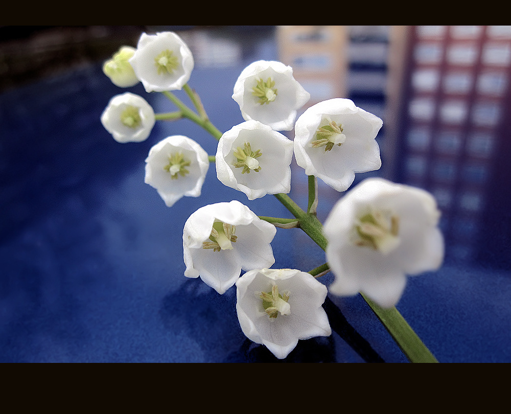 Lily of the Valley in the city