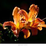 Lily shine through