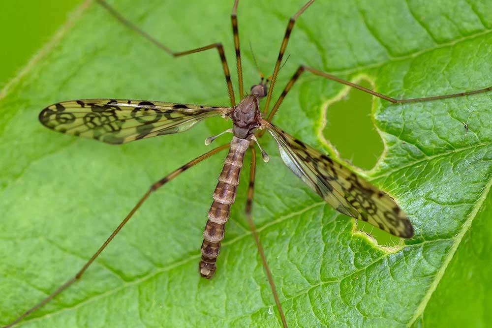 Limoniidae : Epiphragma ocellare (mâle)