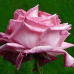 L'important, c'est la rose.