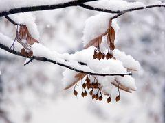Linde mit Schnee