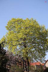 Lindenbaum in voller Blüte