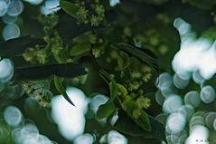 Lindenblüten ...