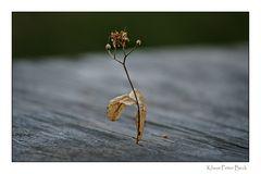 Lindenblütenblatt