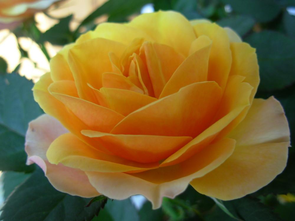 linee sinuose dei petali di una rosa color arancio