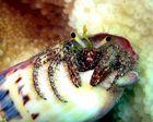 Linkshänder Einsiedlerkrebs, Hermit Crab, Diogenidae