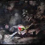 L'Innocenza della Rosa