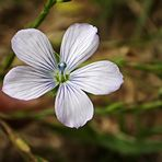 Lino pálido (linum bienne)