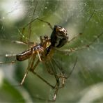Linyphia triangularis - Baldachinspinne