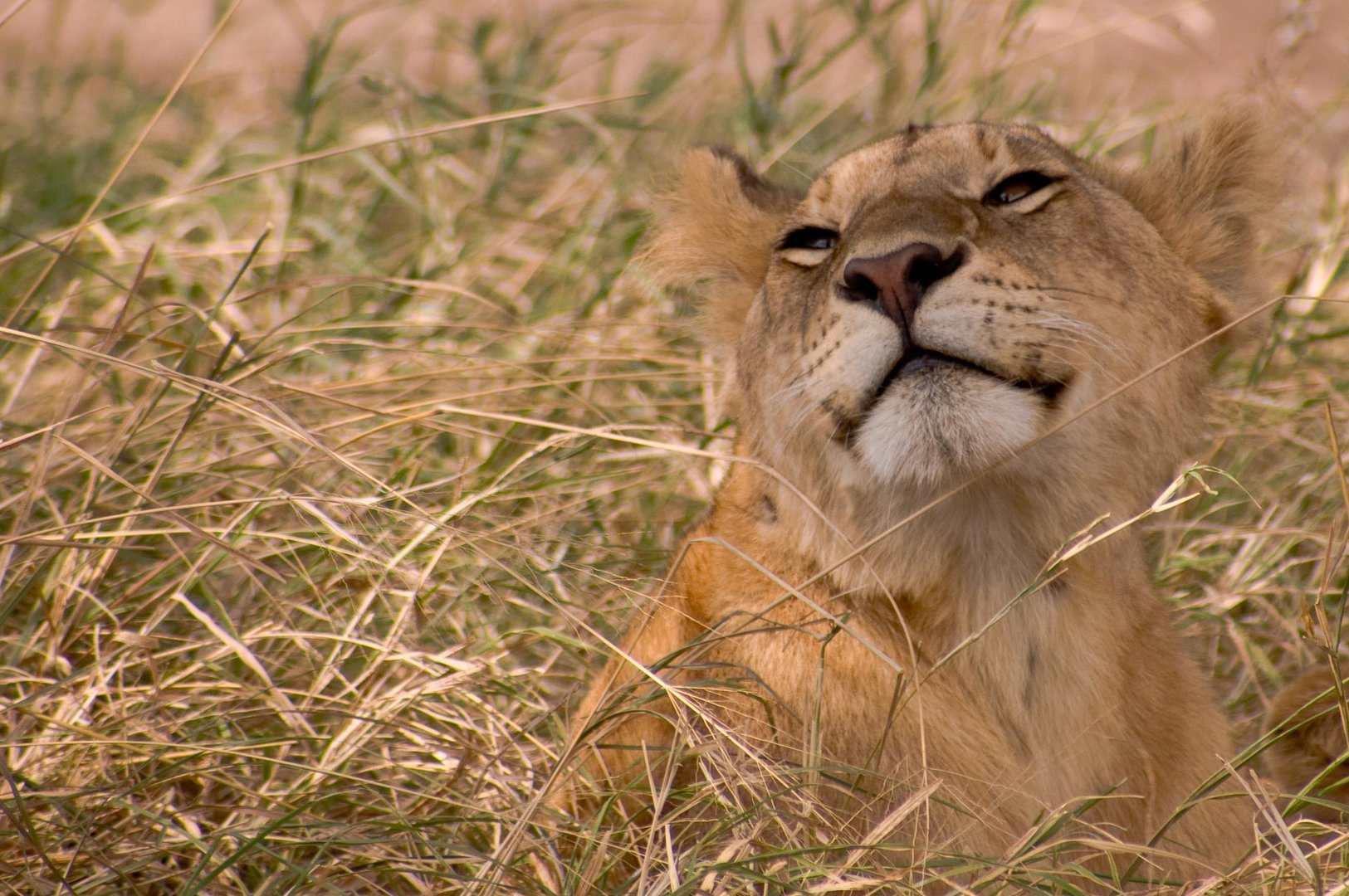 Lion after breakfast in the Serengeti
