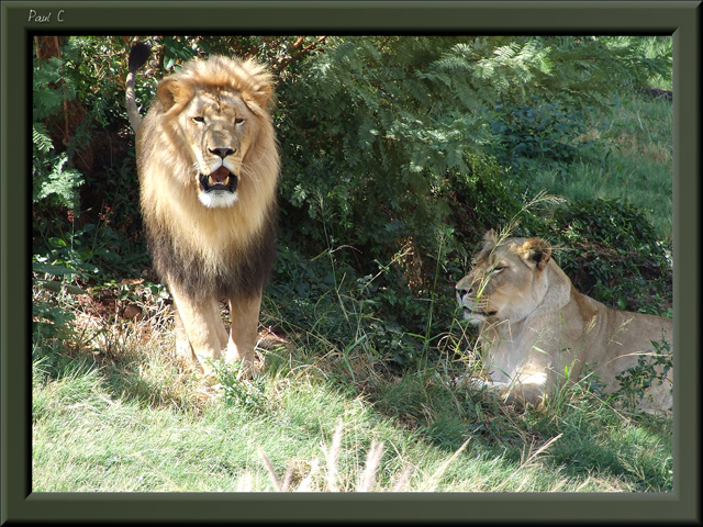 Lion and Lioness in National Park South Africa