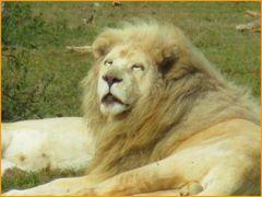 .. Lion blanc Somnolent..