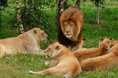 Lion et Lionnes