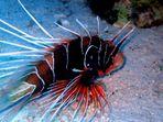 LION FISH -  PTEROIS ANTENNATA