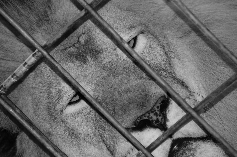 Lion in Cage?