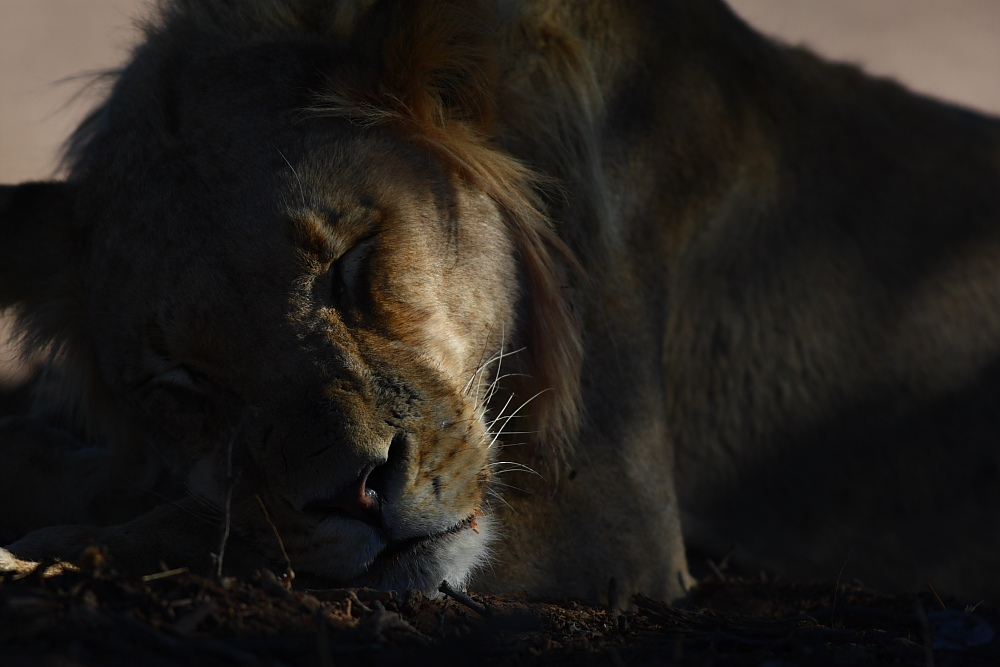 Lion in shadow