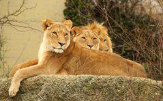 Lion Kings