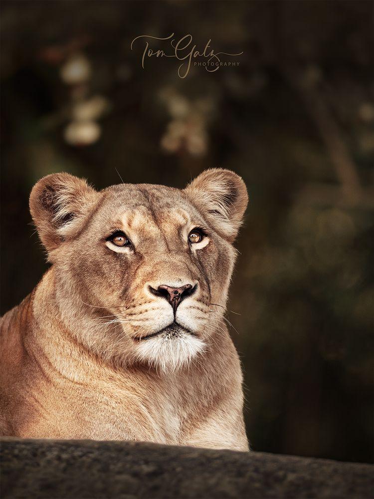 - lion lady -