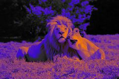 Lion Love  DigiArt
