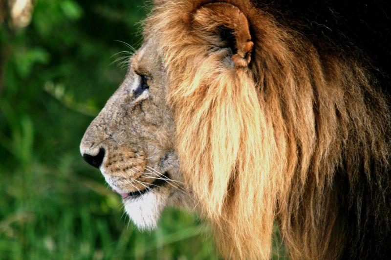 Lion (Male lion) - Masai Mara / Kenya - Profil !