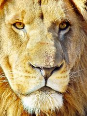 Lion Male Portrait 2528 color
