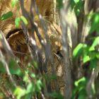 Lion prêt à l'attaque