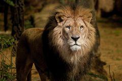 Lion_4634