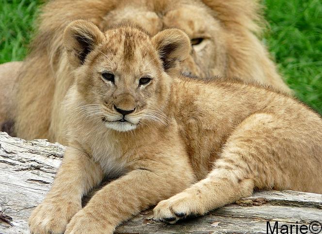Lionceau à Cerza
