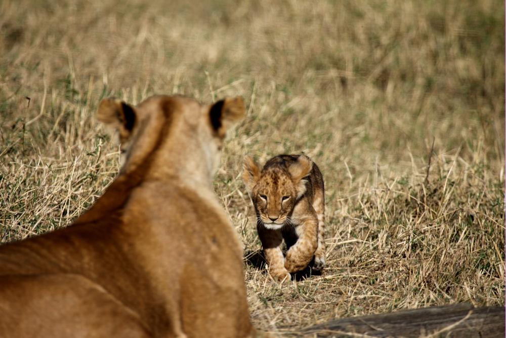 Lionceau (Lion cub) - Masai Mara / Kenya - Retour vers Maman ...