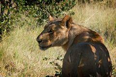 Lioness of Savute