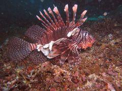 Lionfish (Pazifik Feuerfisch - Pterois volitans) in Monad Shoal