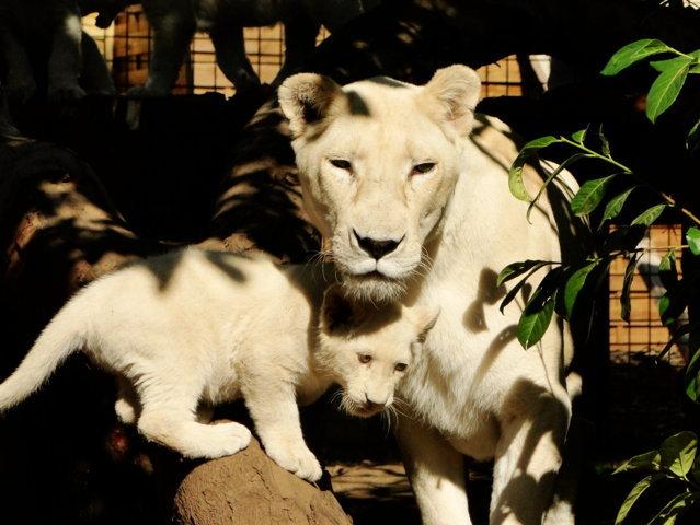 Lionne blanche et son petit de 3 mois