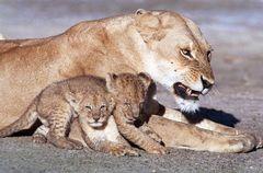 LIONNE ET LIONCEAUX