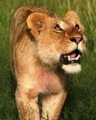 Lionne (Lioness) - Masai Mara / Kenya - Something in the air !