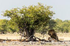 Lions in Heat