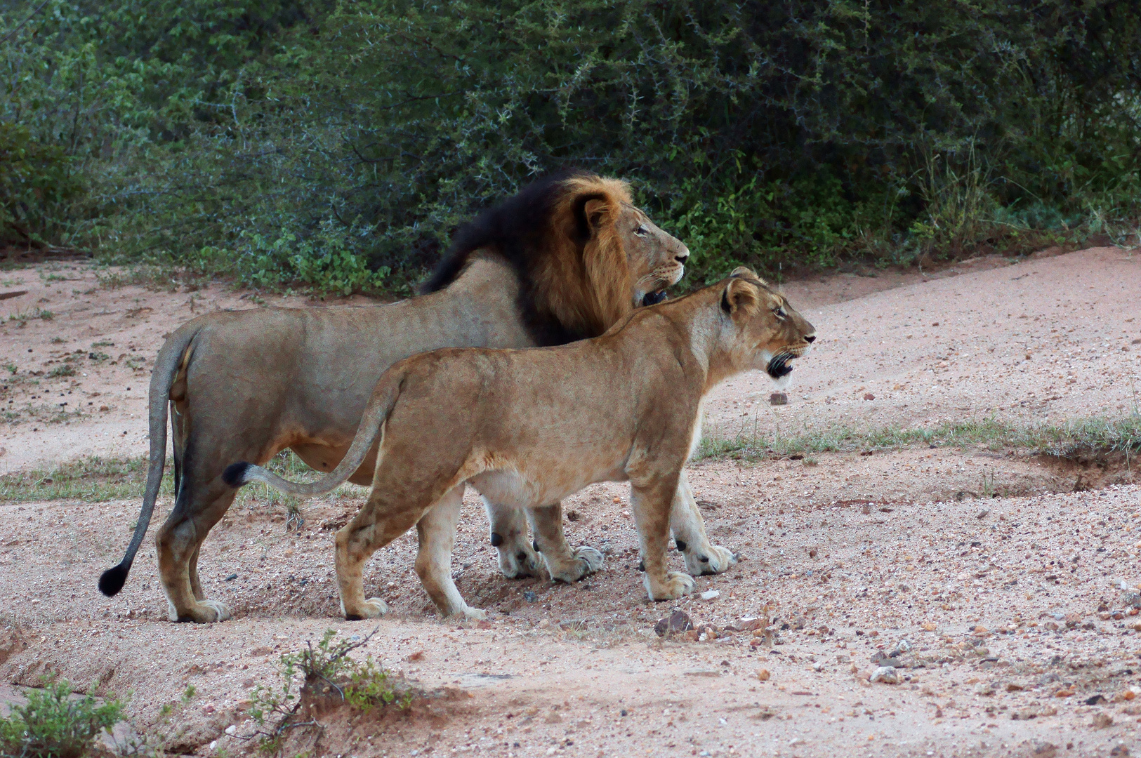 Lions in love (edited)