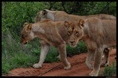 Lions Lady's Club